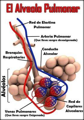 el alveolo pulmonar